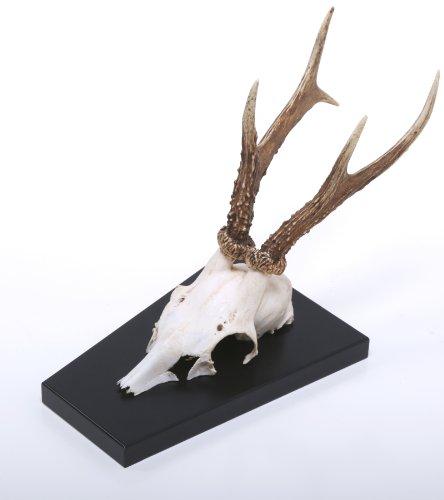 lacefix Rehgehörn – Rehgeweih – Natur – auf Hochglanz...